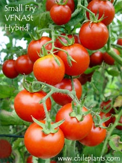 Image result for tomato plant