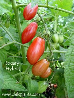 Chileplants Sugary Hybrid Live
