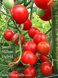 sweet million fnt hybrid tomato seed. Black Bedroom Furniture Sets. Home Design Ideas