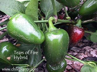 TEARS OF FIRE HYBRID