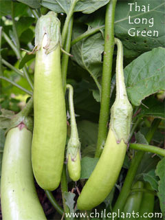 Thai Long Green Eggplant Plants