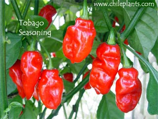 TOBAGO SEASONING