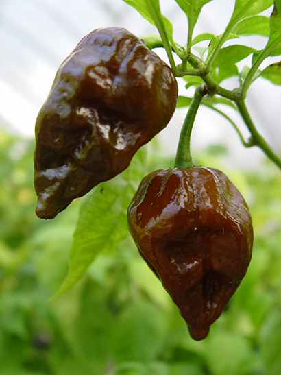 Triniad Scorpion Pepper Seeds