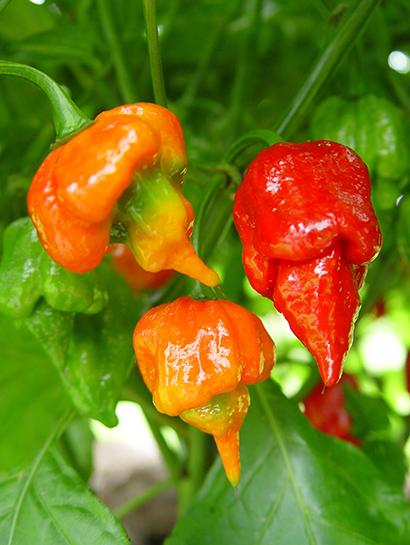 Best pepper plants tomato plants and eggplants - Best romanian pepper cultivars ...