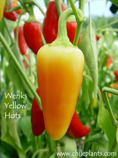 WENKS YELLOW HOTS