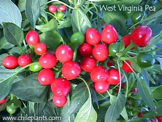 WEST VIRGINIA PEA